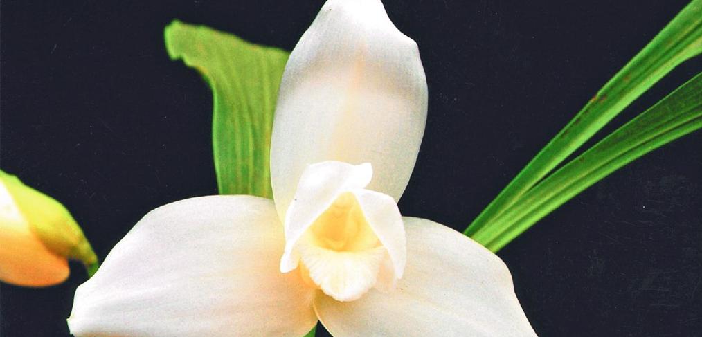 La Monja Blanca, Flor Nacional de Guatemala